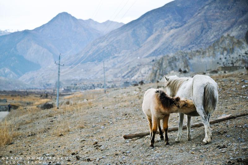 25-horses-feeding-young-braka-manang-mountain-biking-annapurna-circuit-foto-radu-dumitrescu