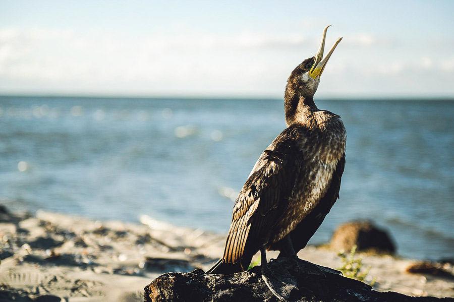 Cormoran la malul Mării Negre.